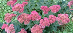 fall sedum small